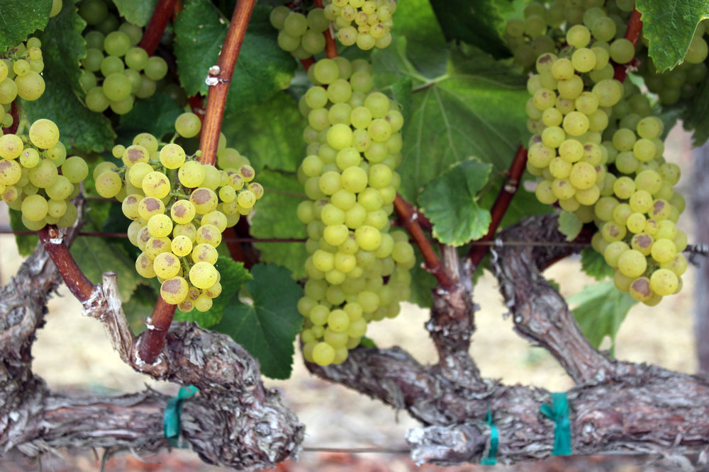 Wine Grapevine