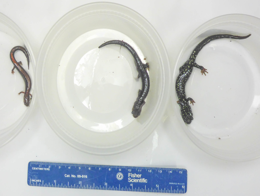 Focal species - Plethodon communities are divided into body size guilds, or species of comparable sizes that use shared resources in similar ways. They are also strictly terrestrial and tend to live in dense, speciose communities. Because they share similar ecological functions, they undergo intense competition for limited resources. We studied communities made up of small (P. cinereus, left), intermediate (P. montanus, center), and large (P. glutinosus, right) species.
