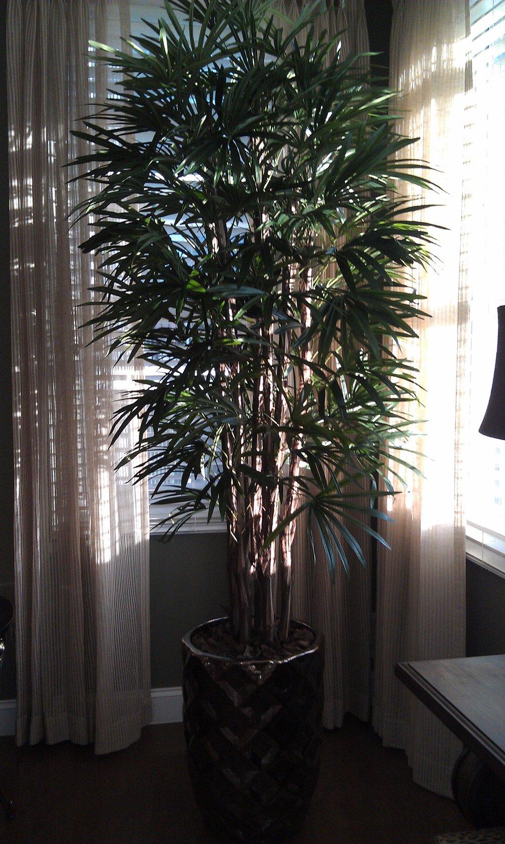 PL329 Raphis ( Lady Palm)