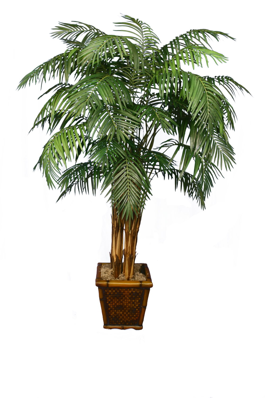 PL180 Areca Palm