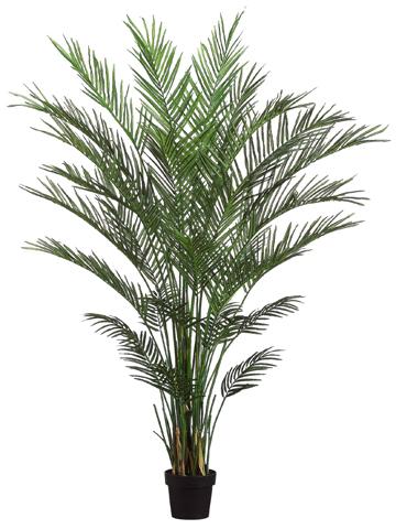 PL691 Areca Palm