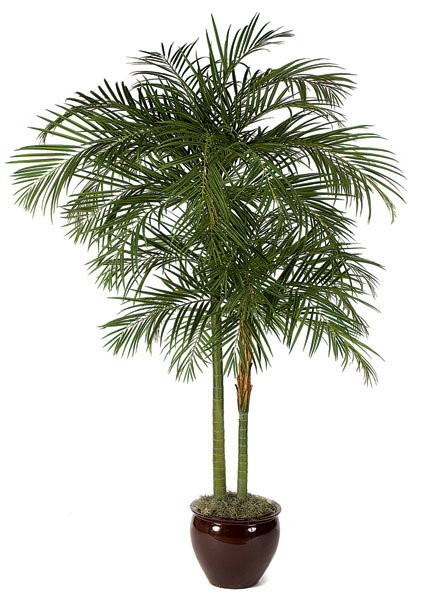 PL464 Kentia Palm