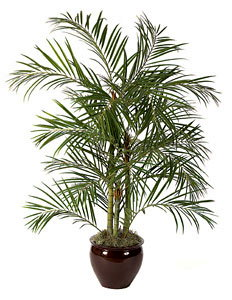 PL548 Areca Palm