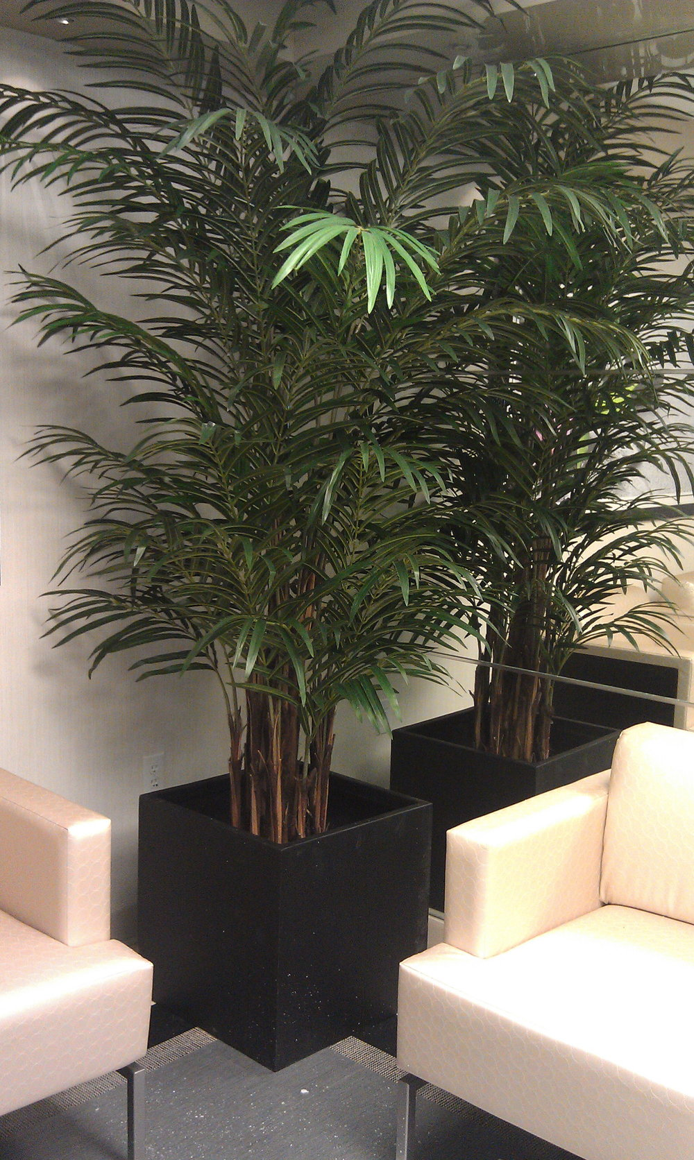 PL420 Areca Palm
