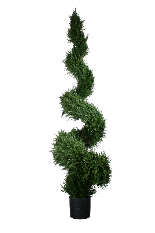 Italian Cypress spiral