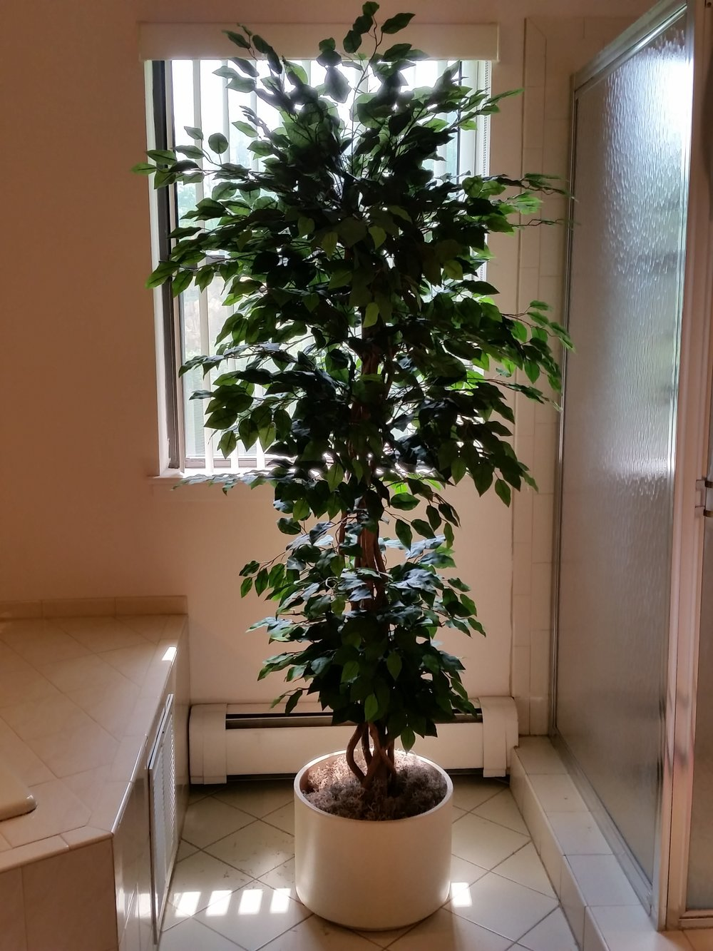 TRG 1489- Topiary Ficus