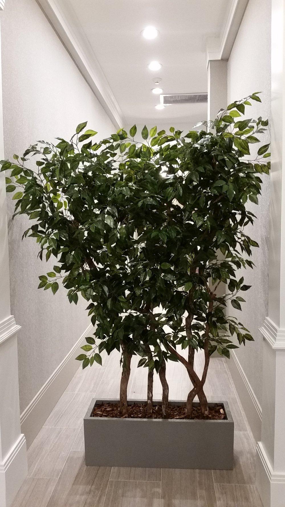 TCM 1544- Ficus