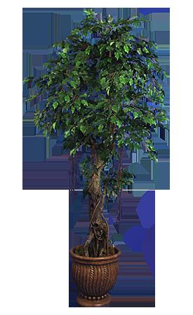 TPT 1329- Ficus Benjamina