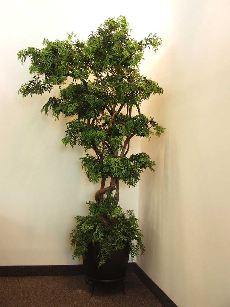 TCM 5696- Japanese Maple