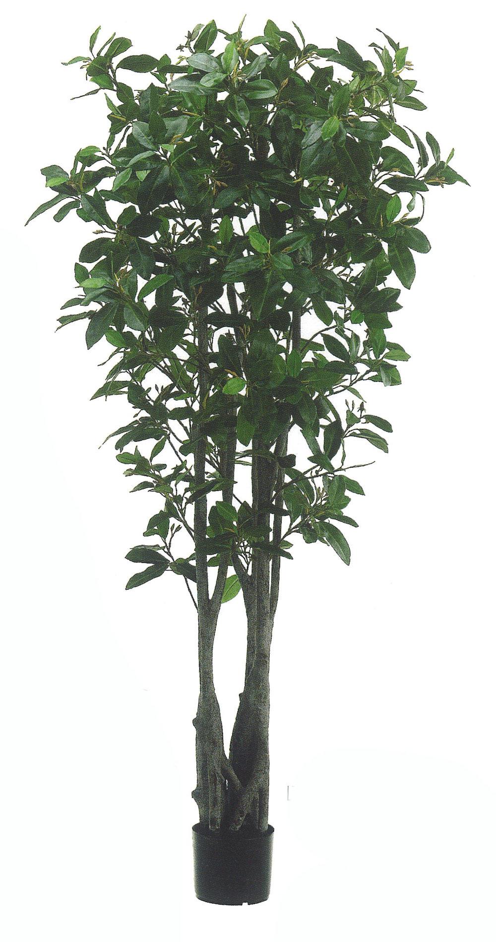 TSP 4918- Mangrove Tree