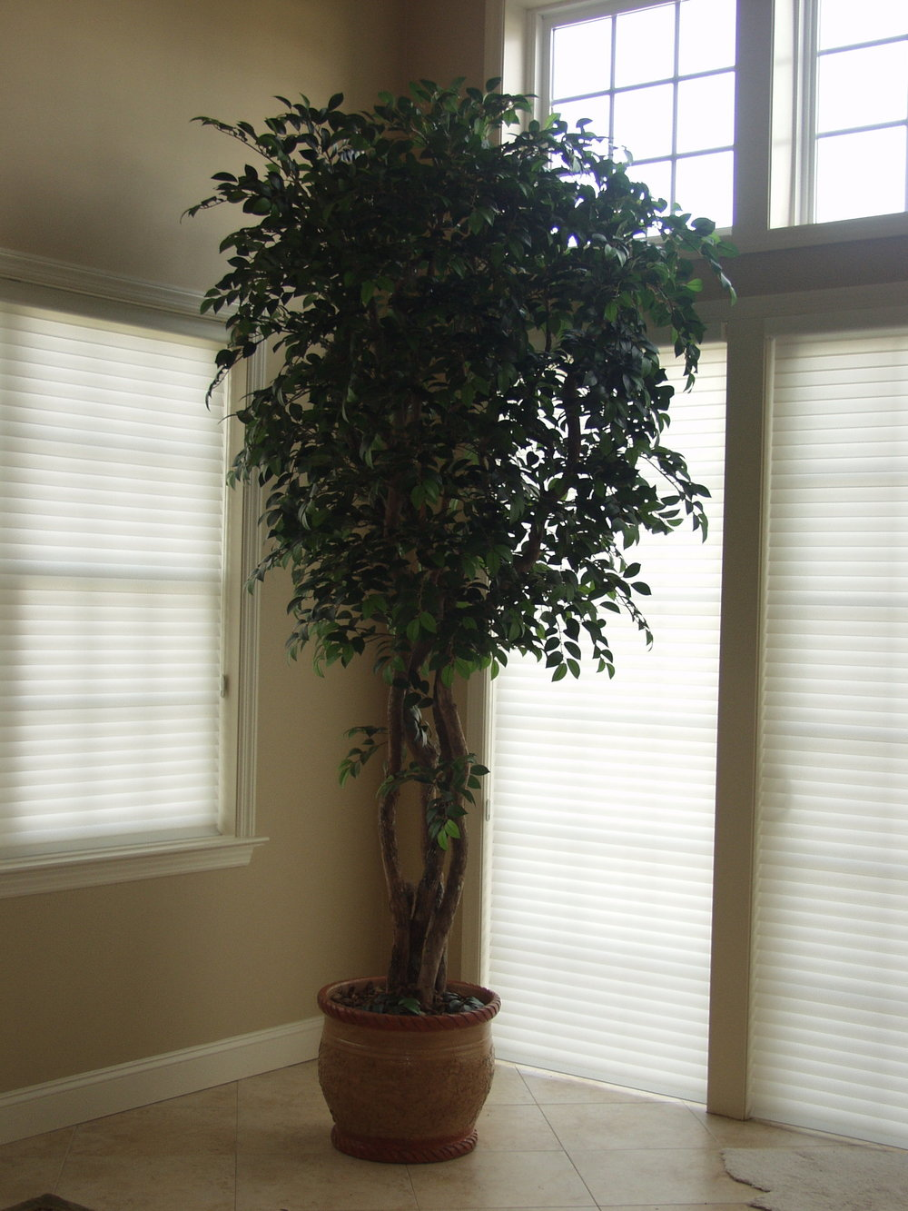 TRG 3411- Sacagi Ficus