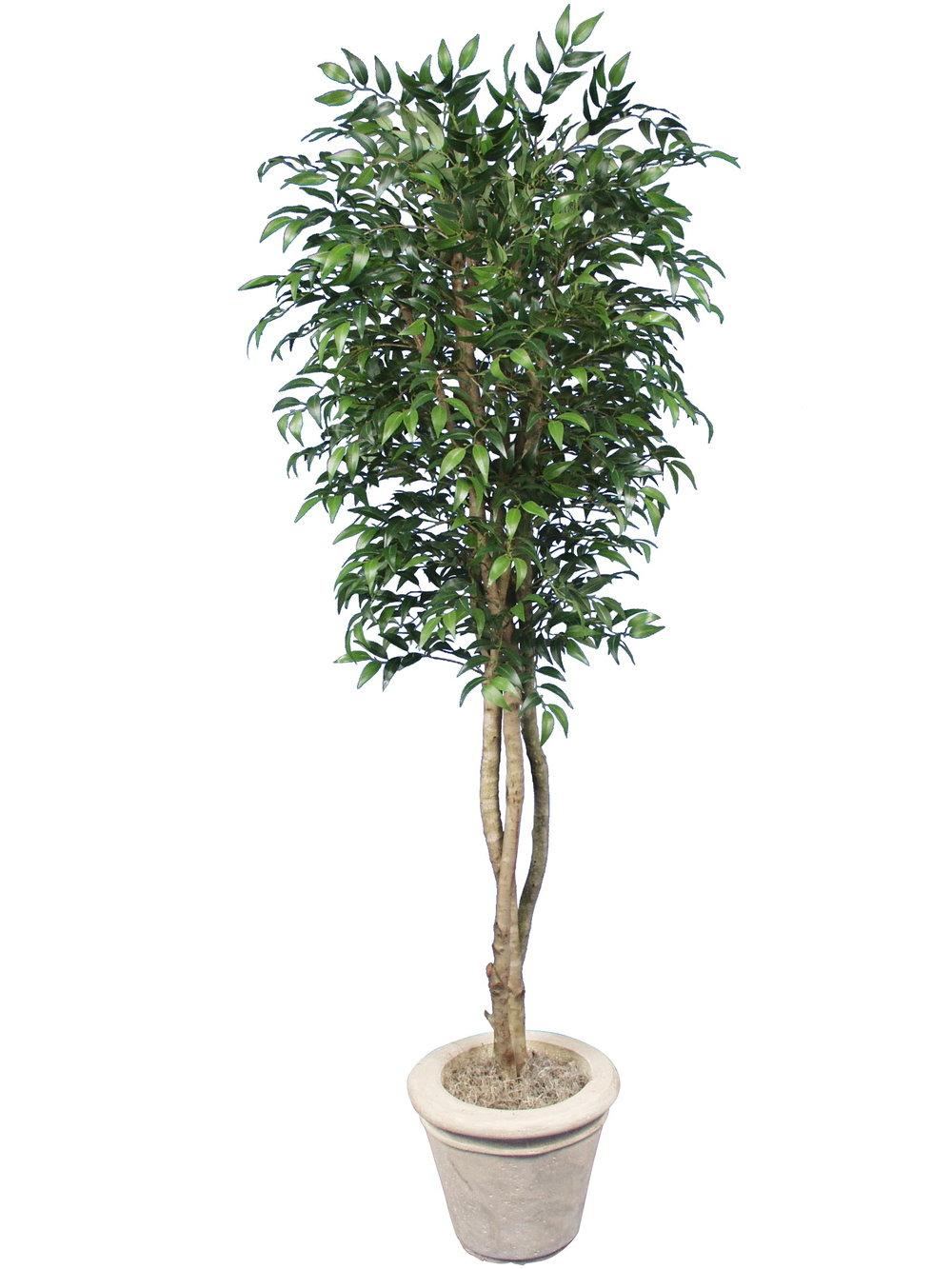 TSP 1221- Ficus