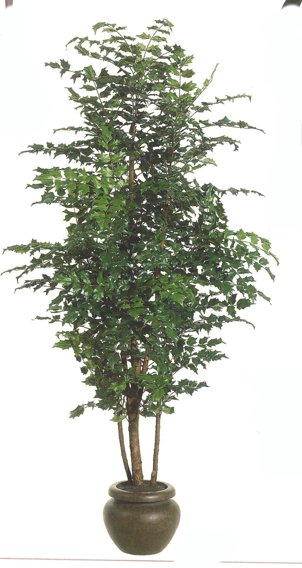 TSP 4790- China Doll Tree