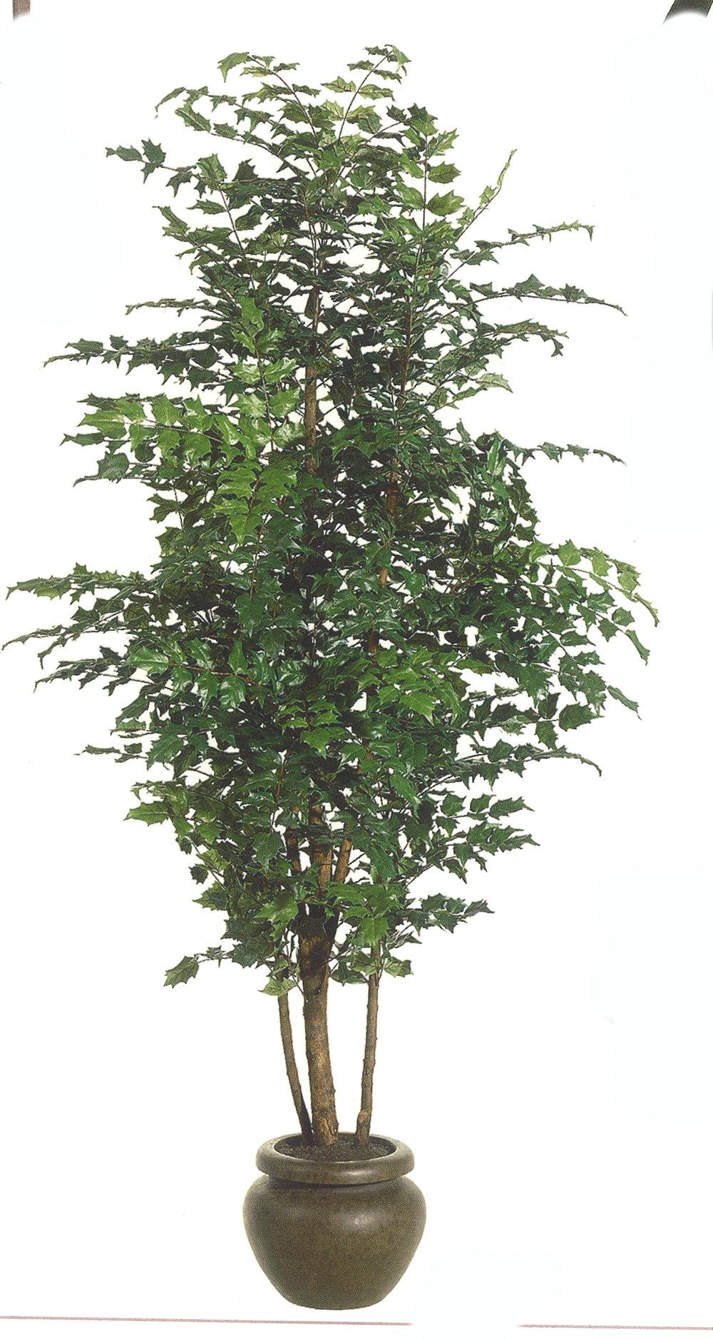 TSP 4790- China Doll Tree
