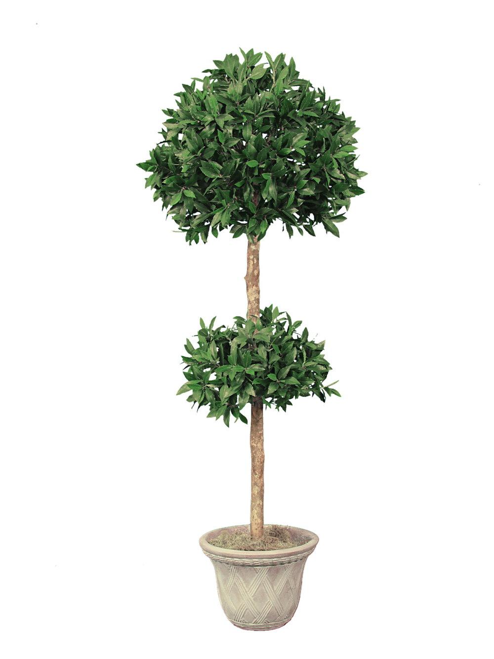 TSP 5571- Boxwood Topiary