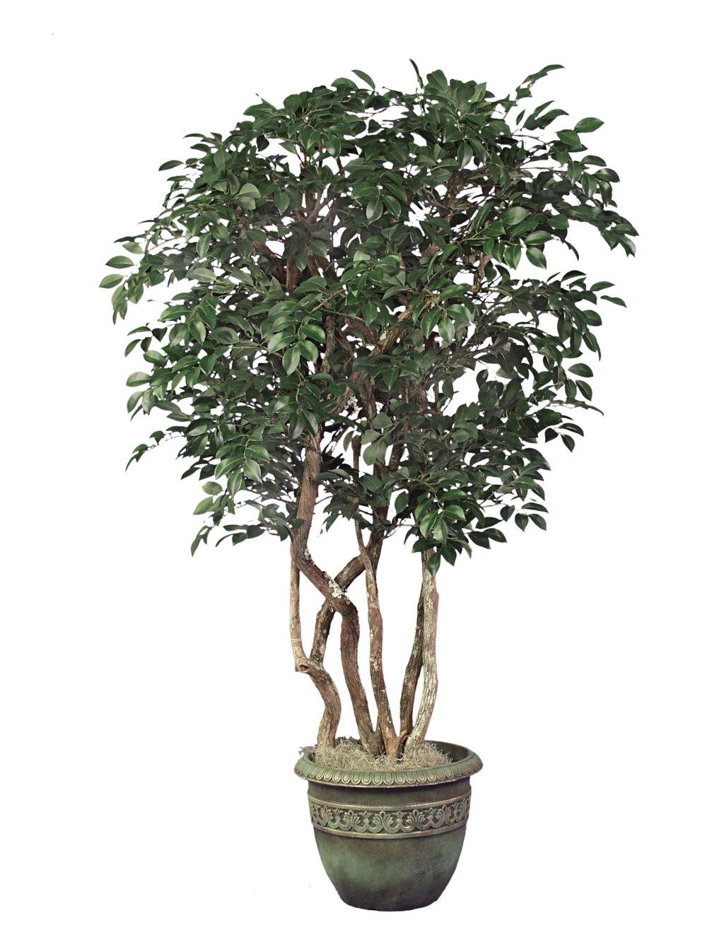 TRG 4645- Ficus