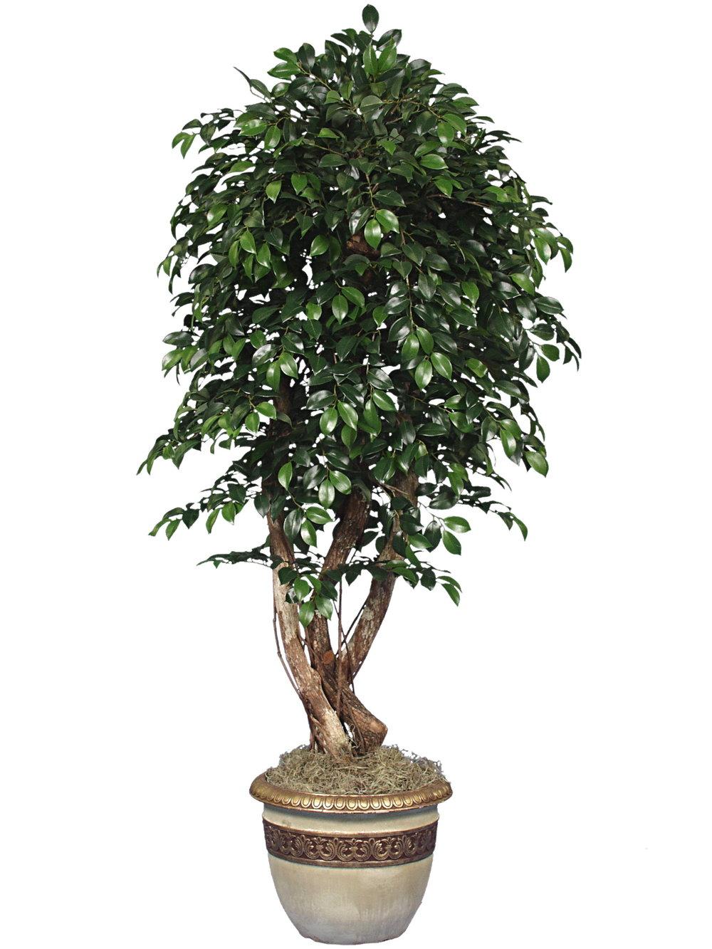TRG 2450- Sacagi Ficus