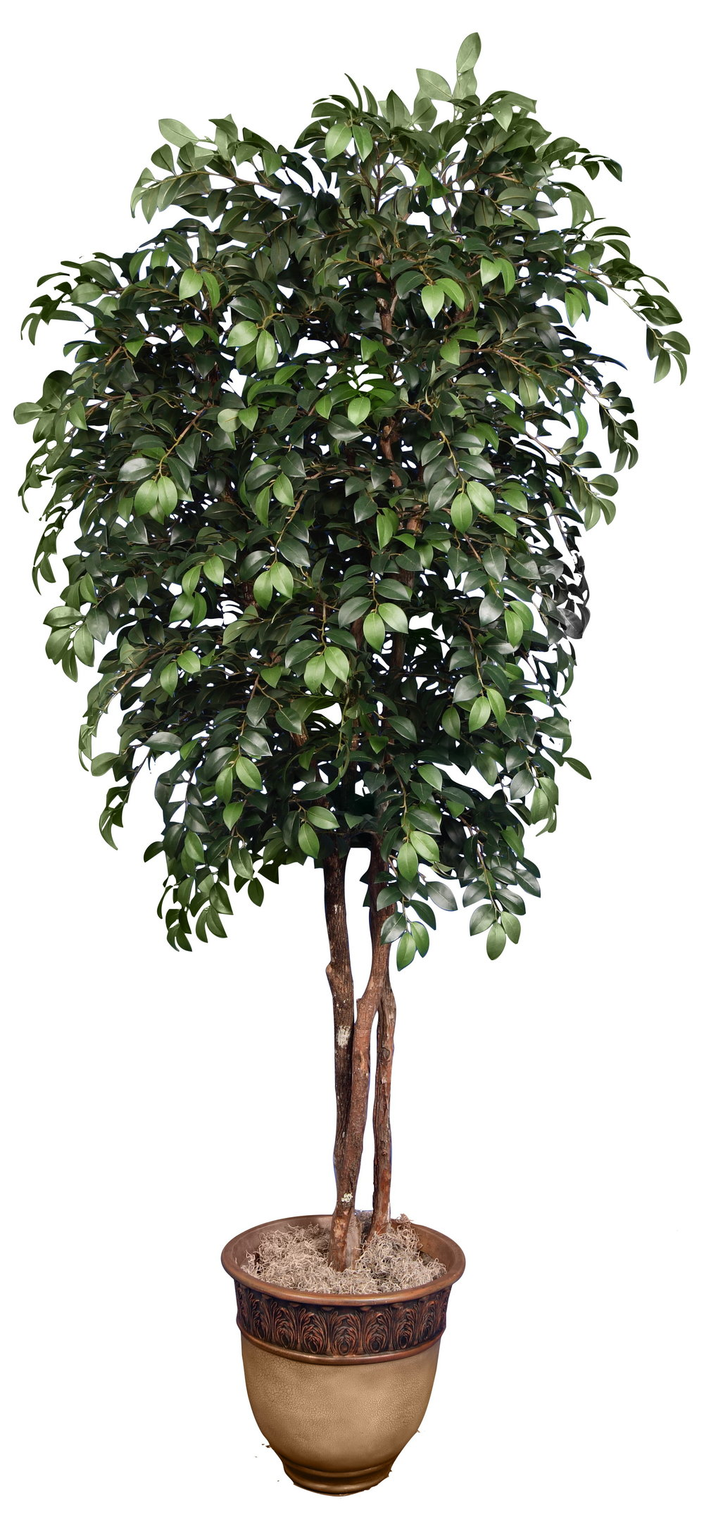 TCM 4111- Sacagi Ficus
