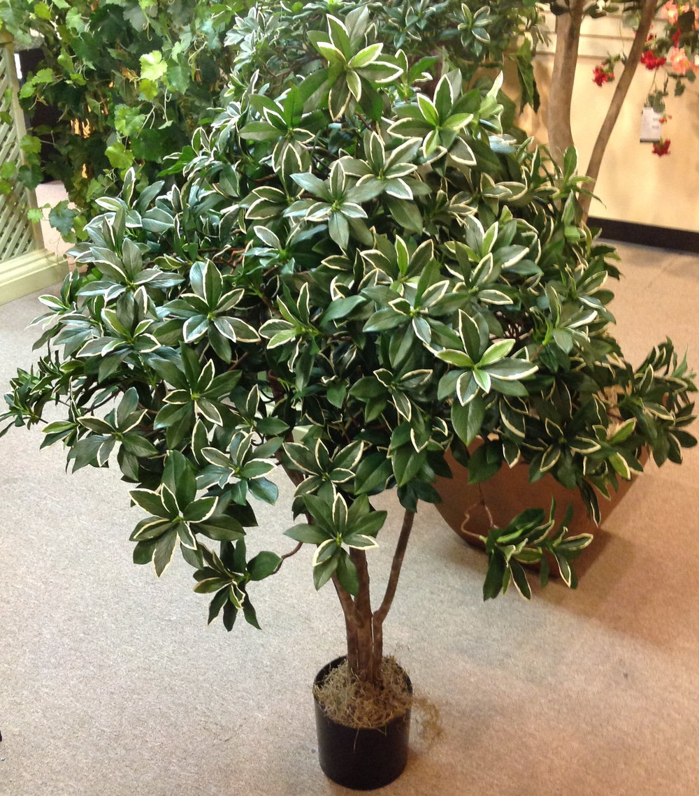 Brazilian Pittisporum