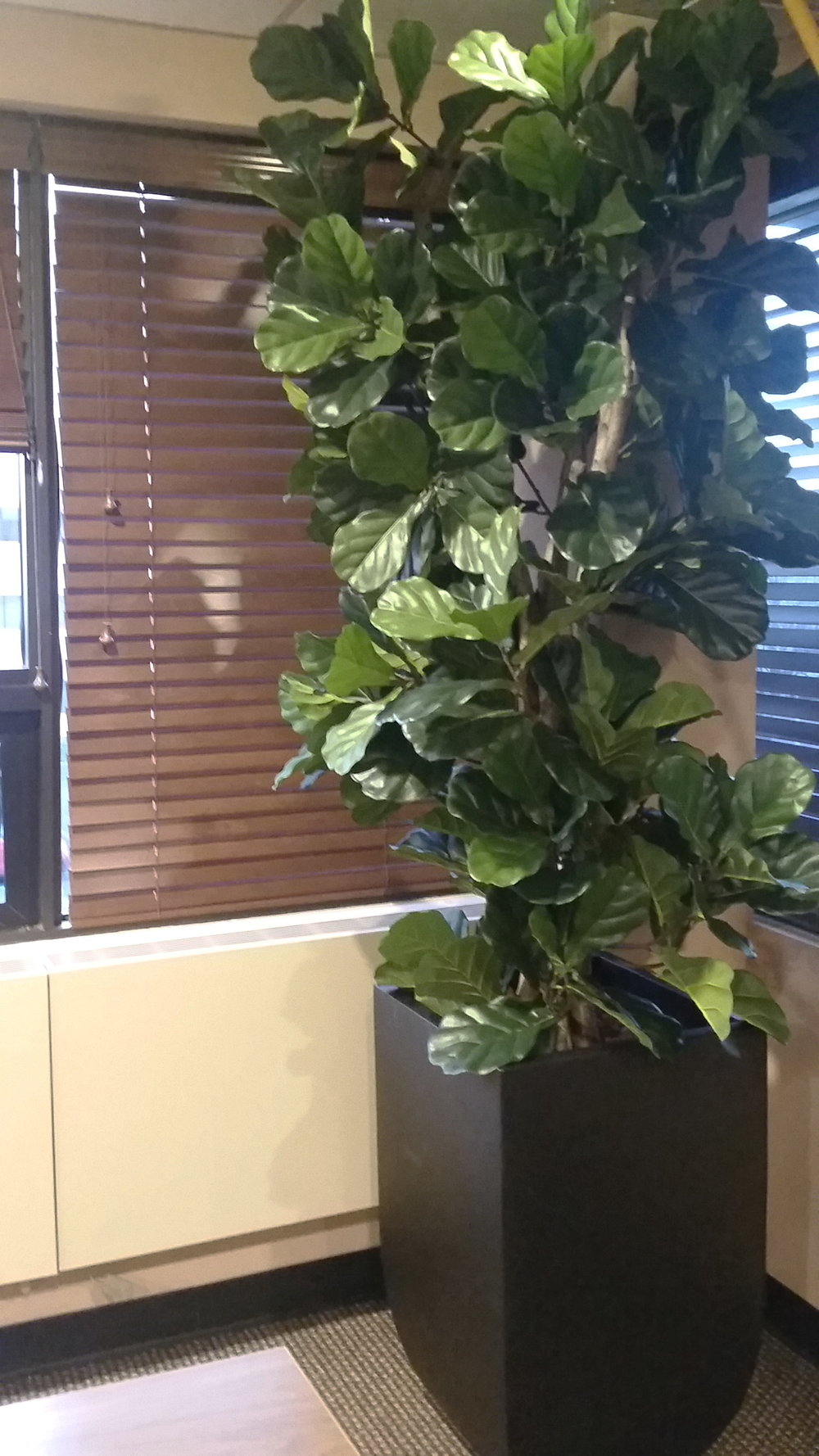 PL589 Fiddle Leaf