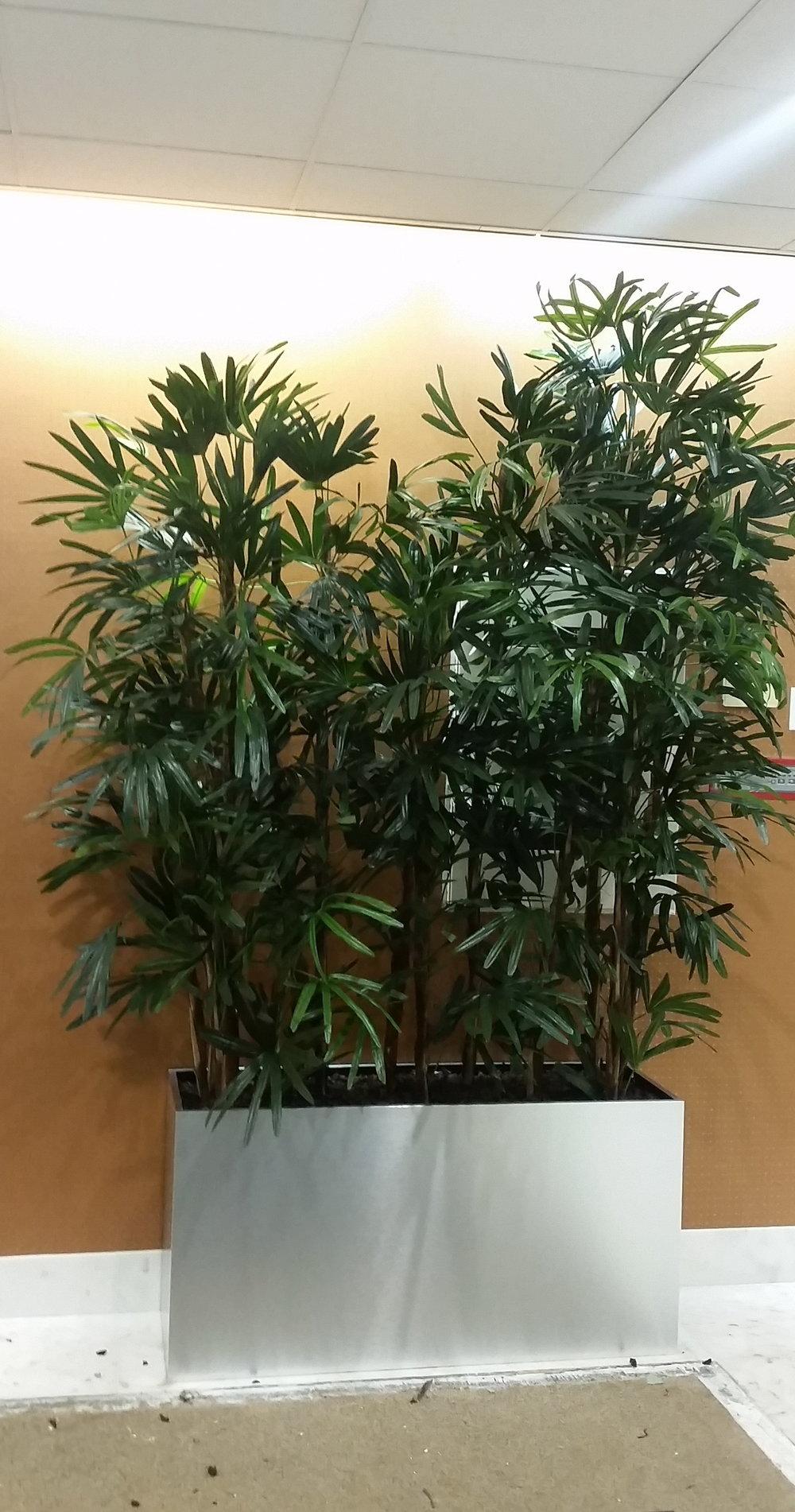 PL642 Raphis (lady palm)