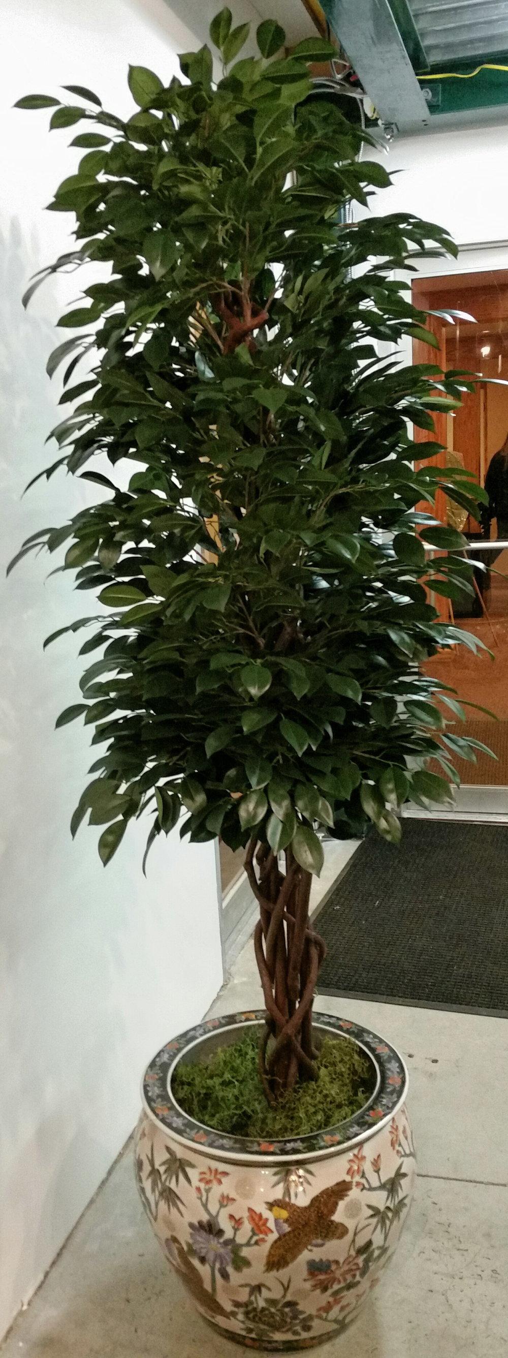 TSP 2204- Ficus