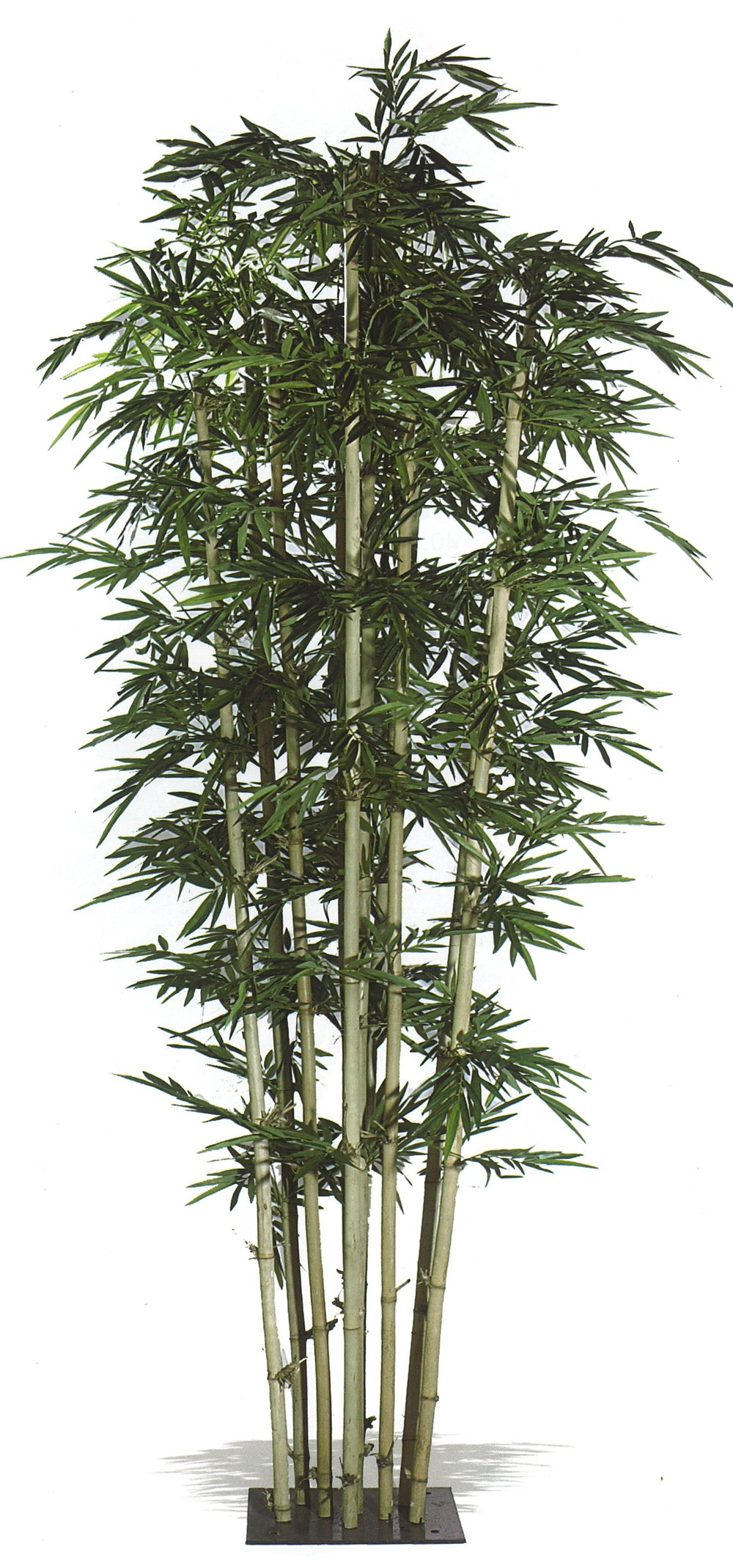 PL462 Giant Bamboo