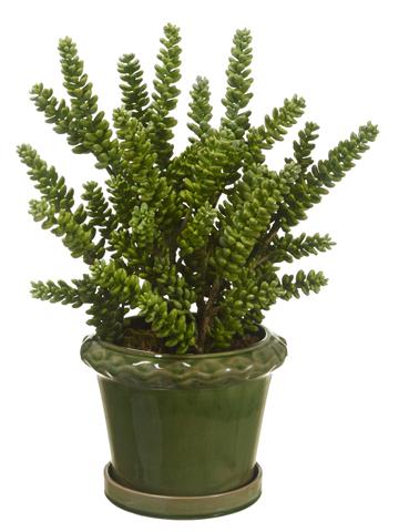 Donkey Tail Cactus