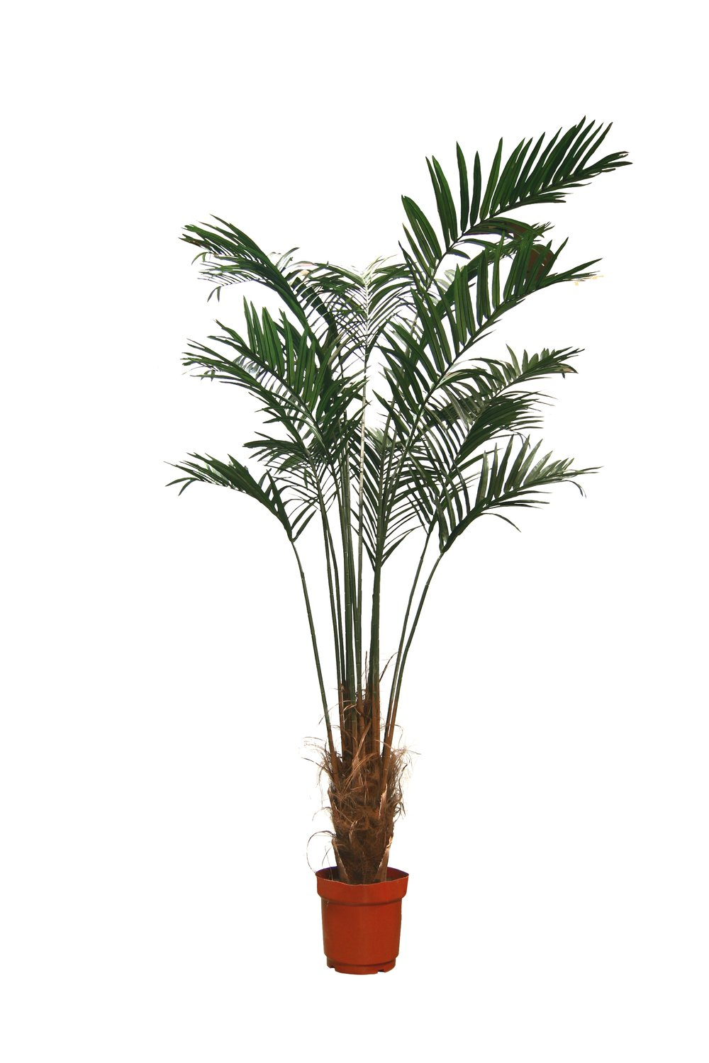 PL654 Kentia Palm