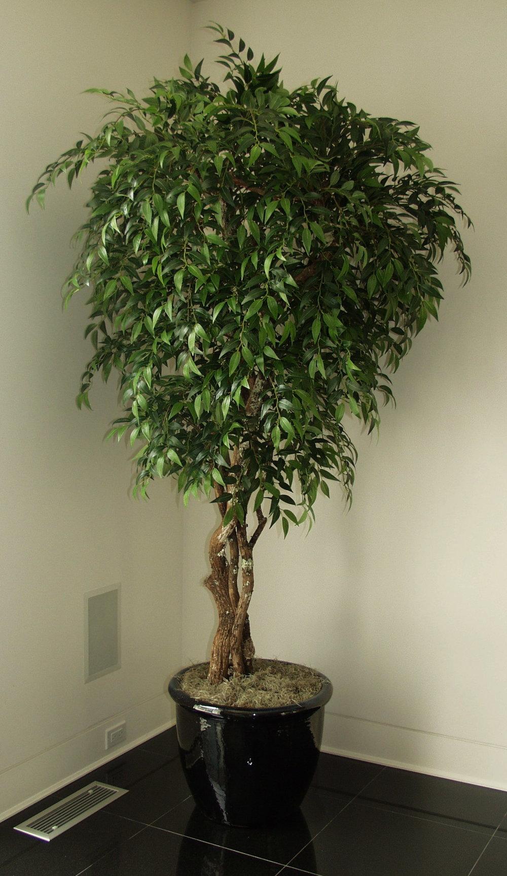 TCM 1270- Smilax Tree