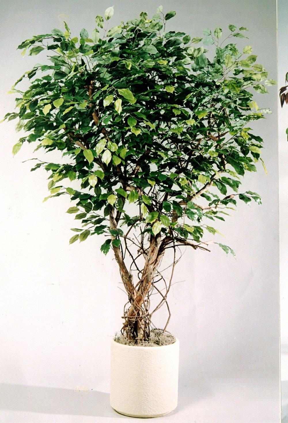 TPT 0898- Ficus
