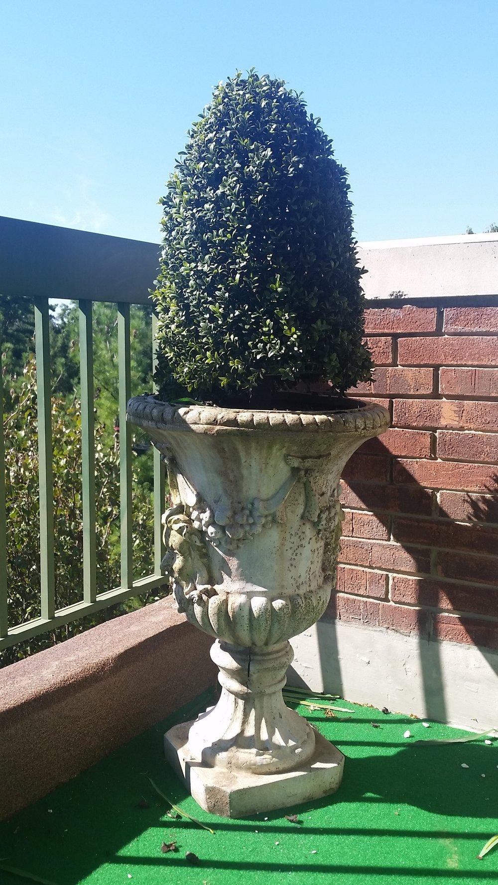Boxwood Cone shrub
