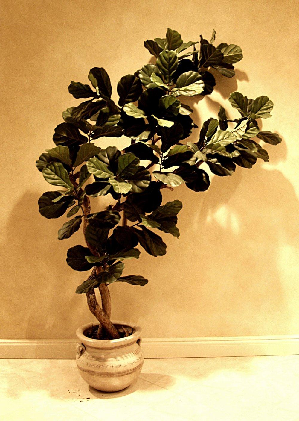 TRG 5119- Fiddle Leaf fig