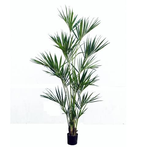 PL444 Kentia Palm