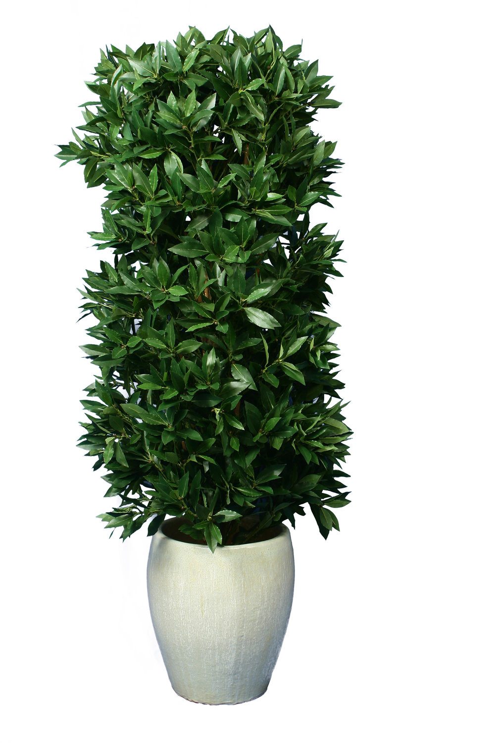 Bay Leaf conical topiary