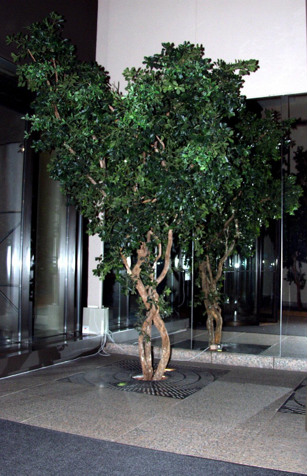 TCM 1322- Black Olive Tree