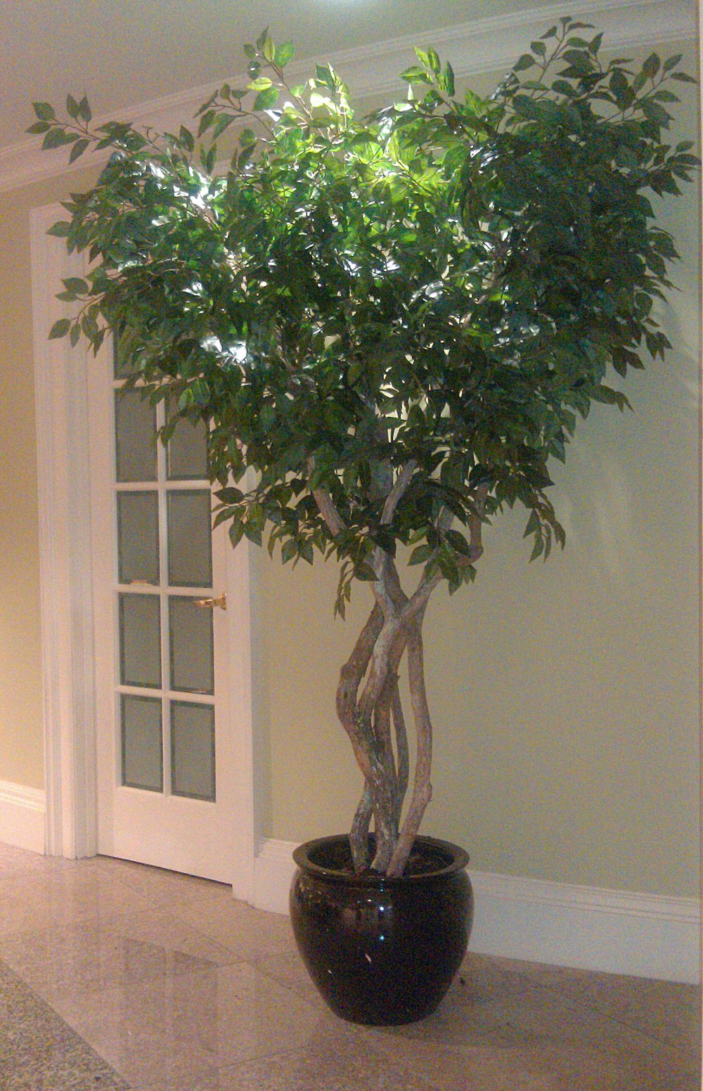 TCM 1451- Sacagi Ficus