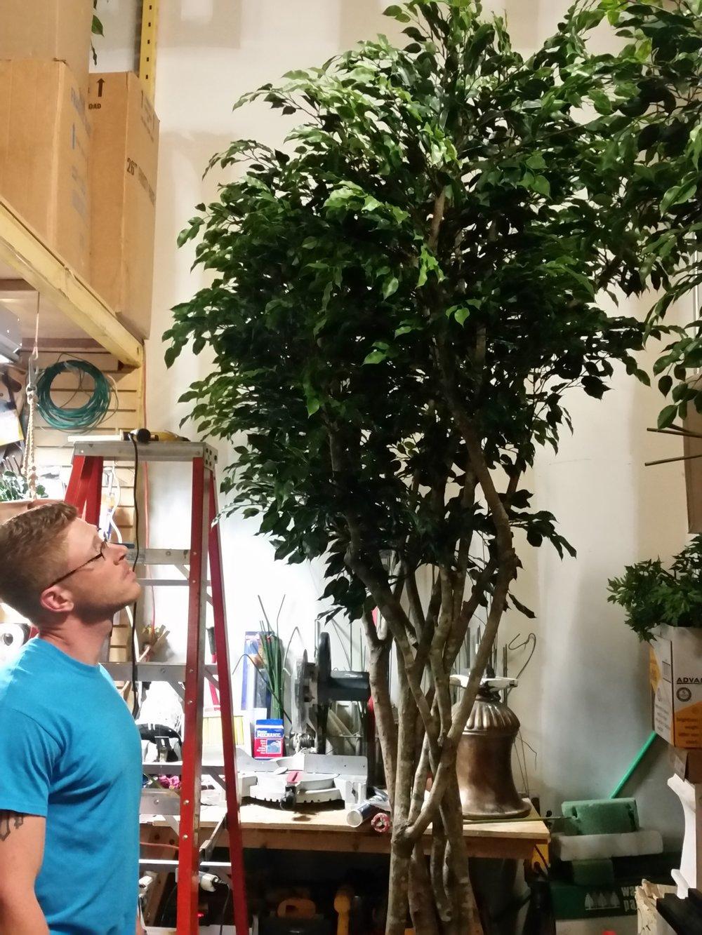 TRG 6005- UV Outdoor Ficus