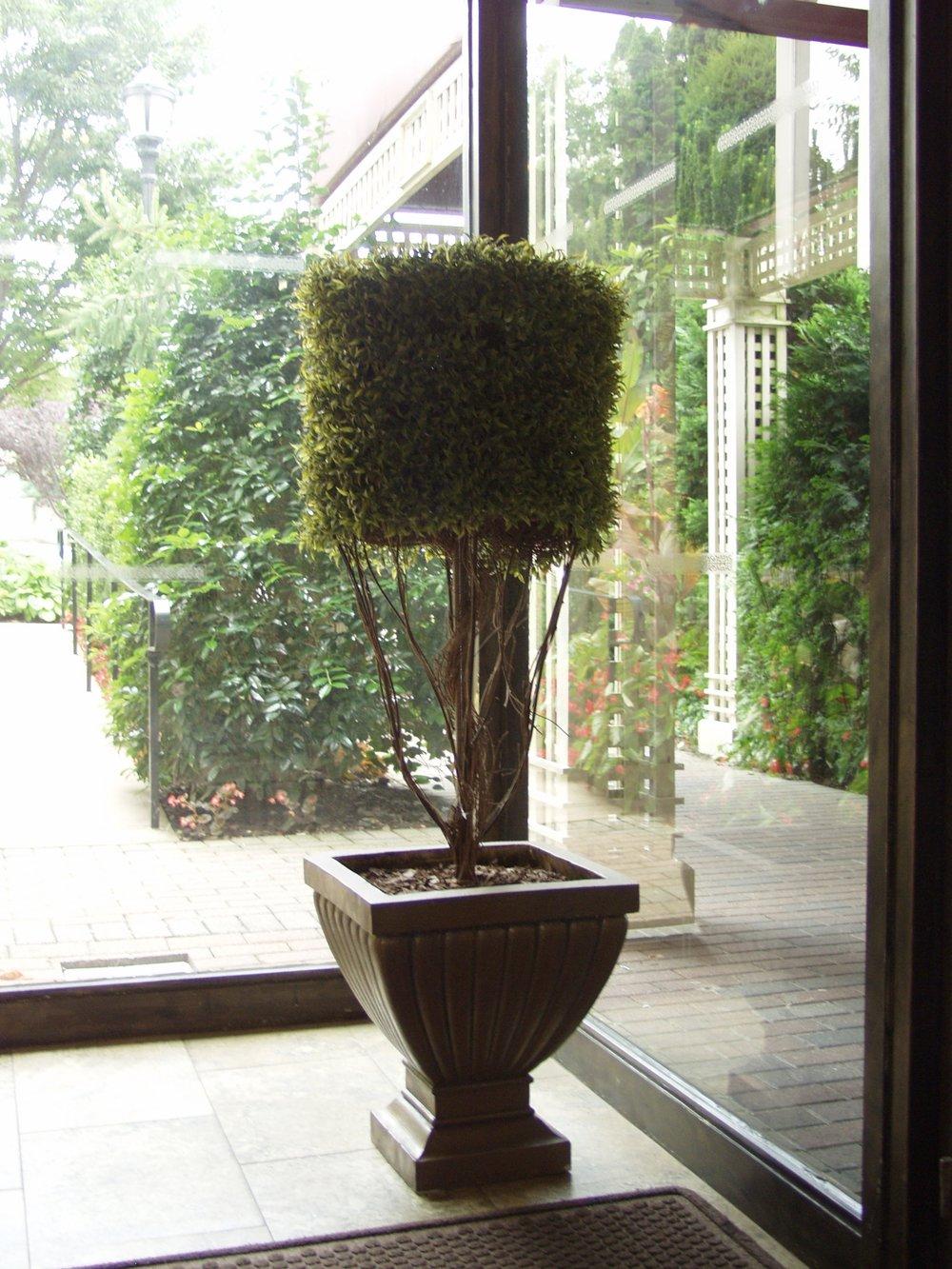 Conical Cedar Hedge