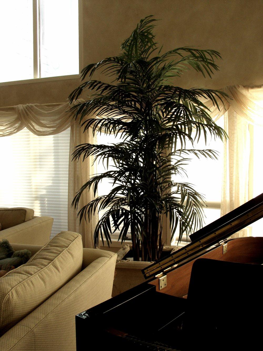 PL497 Areca Palm