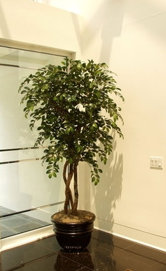 TCM 4879- Sacagi Ficus
