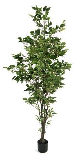 TSP 1730- Ficus