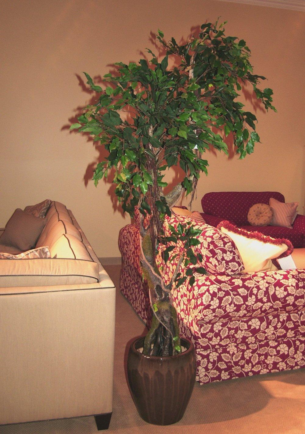 TCM 2791- Ficus Benjamina