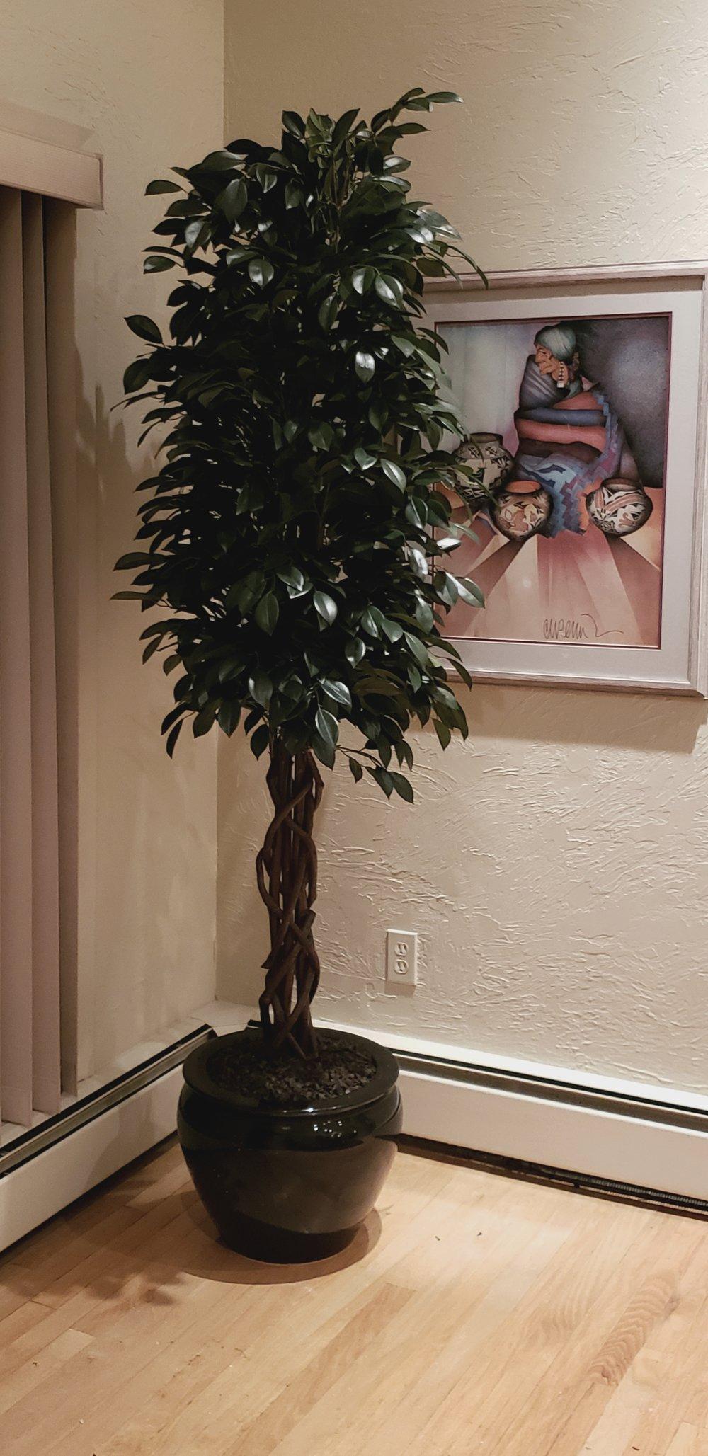 Sacagi Ficus on natural braided trunk