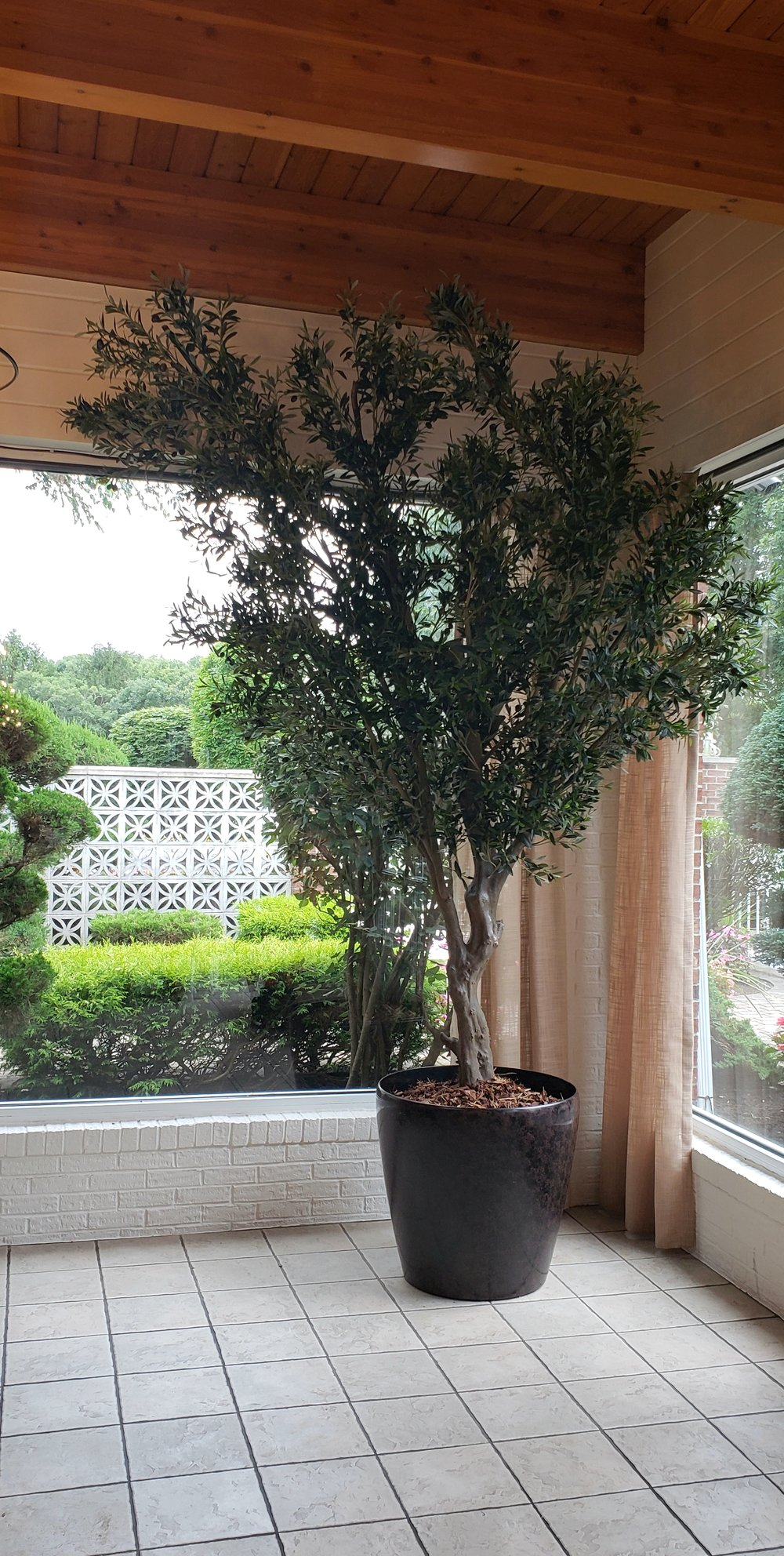 10½' Italian Olive tree with black olives
