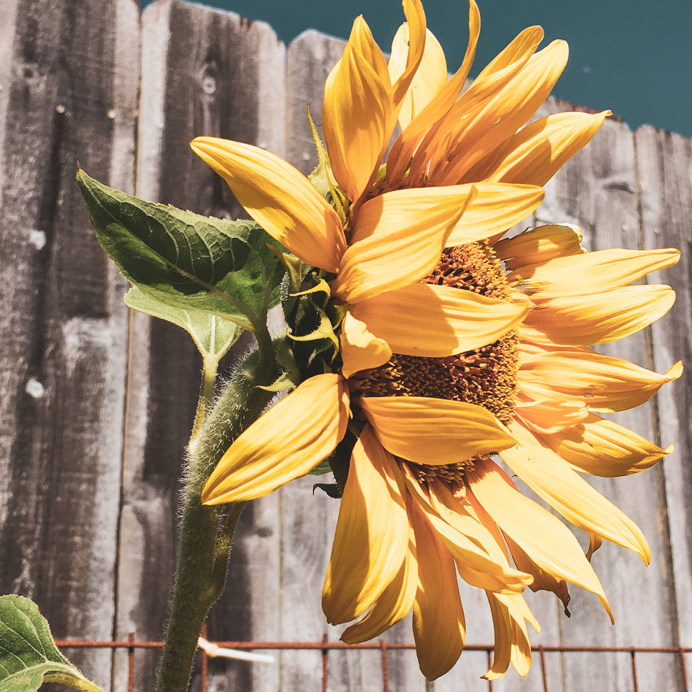 My parents raised this huge sunflower in their backyard. Once it bloomed, it was hard not to capture the beauty it showed.