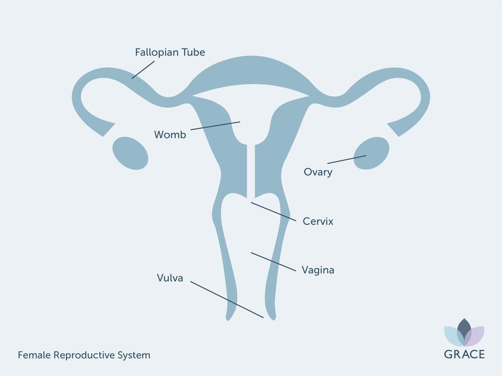 GR - Female Reproductive System.jpg