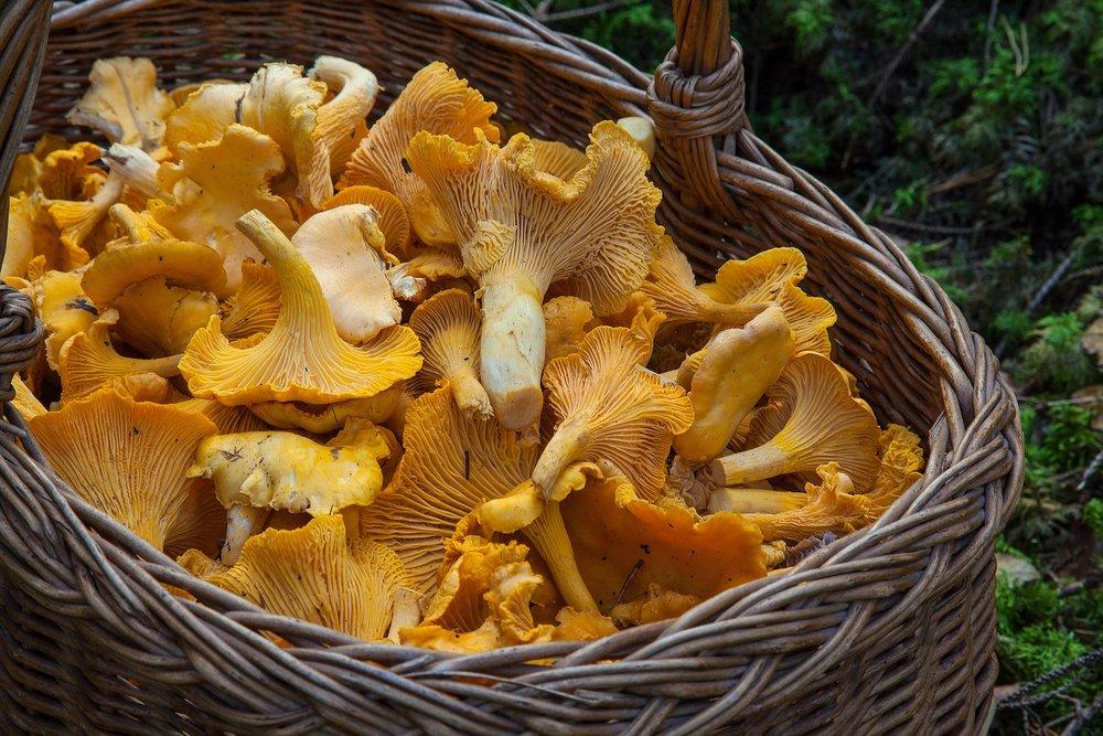 medicinal mushrooms for immunity