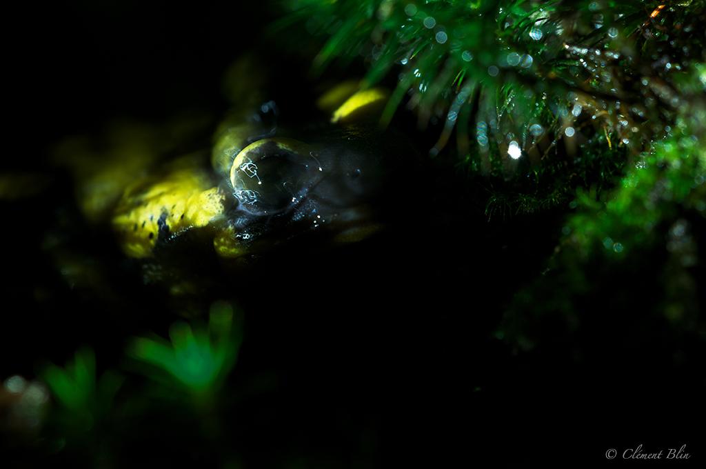 L'oeil de la salamandre