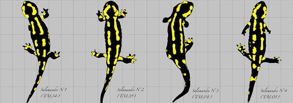 Patrons dorsaux de salamandres tachetées